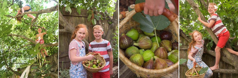 kids collecting figs from fig tree.